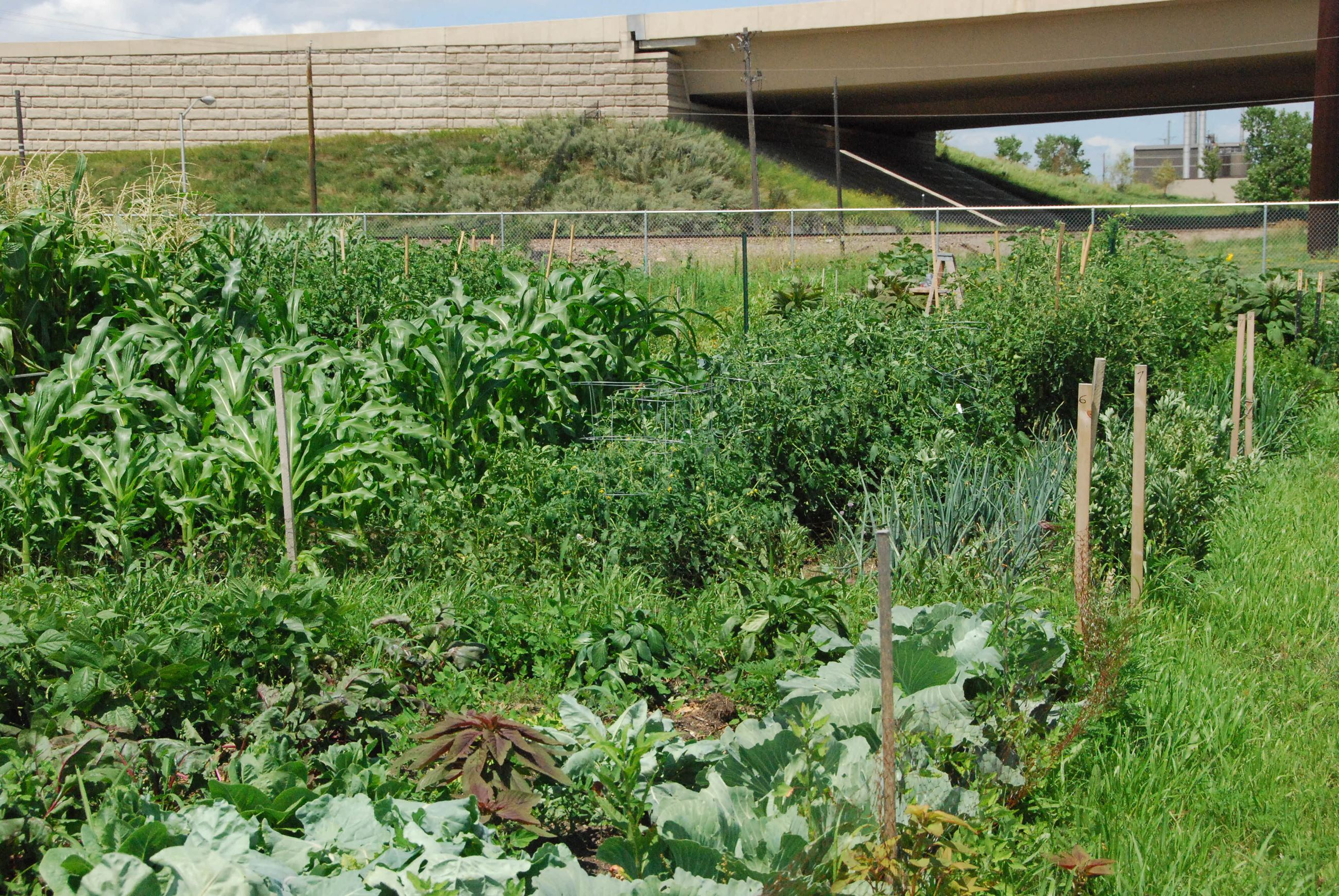 Community Garden plots with corn, lettuce plants.