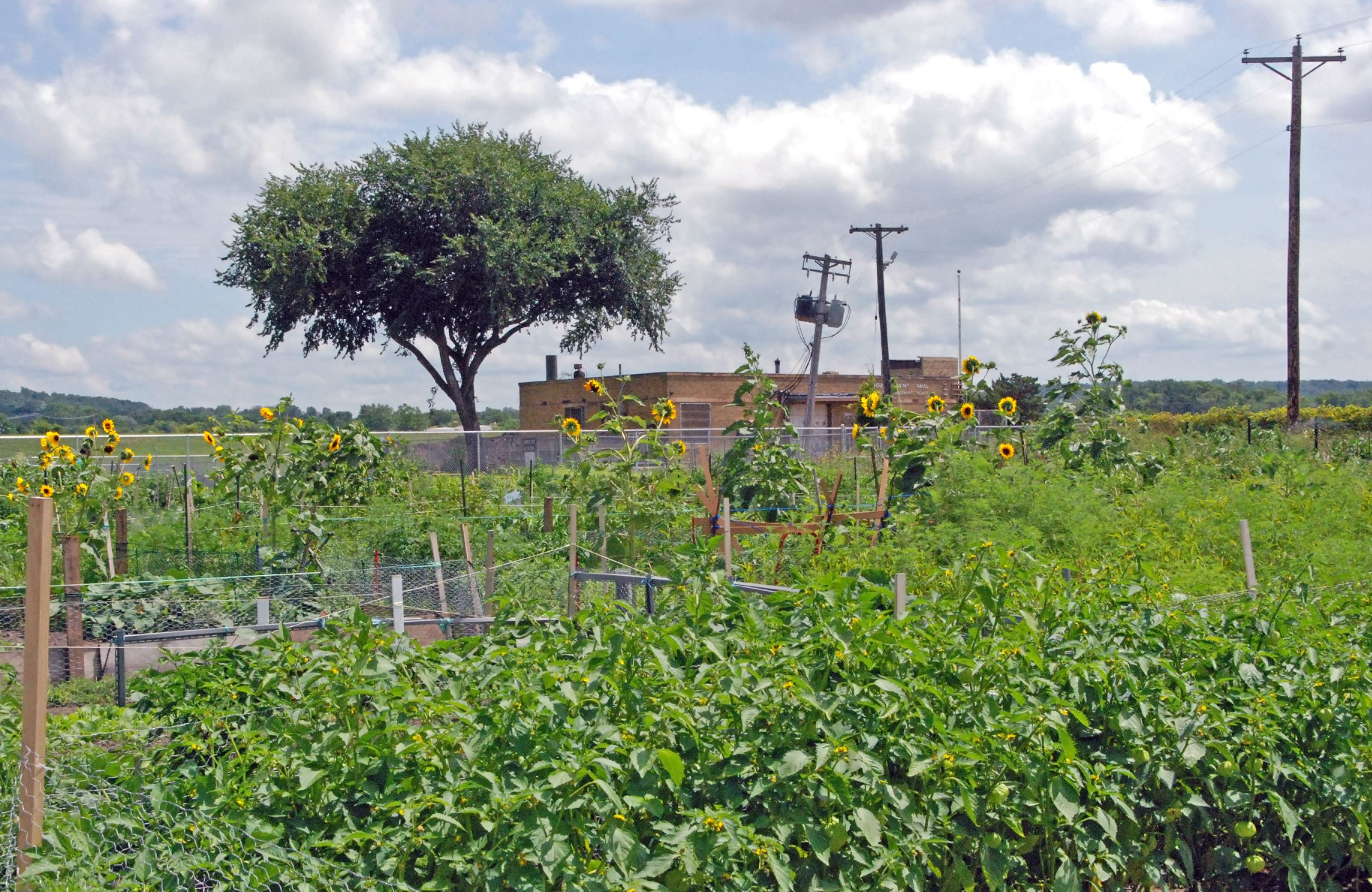 Community Garden with sunflowers and tomato plants.